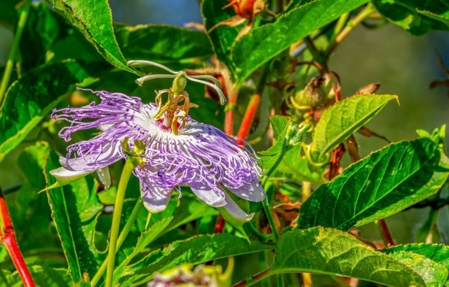 Passiflora rimedio contro insonnia, ansia e sbalzi d'umore