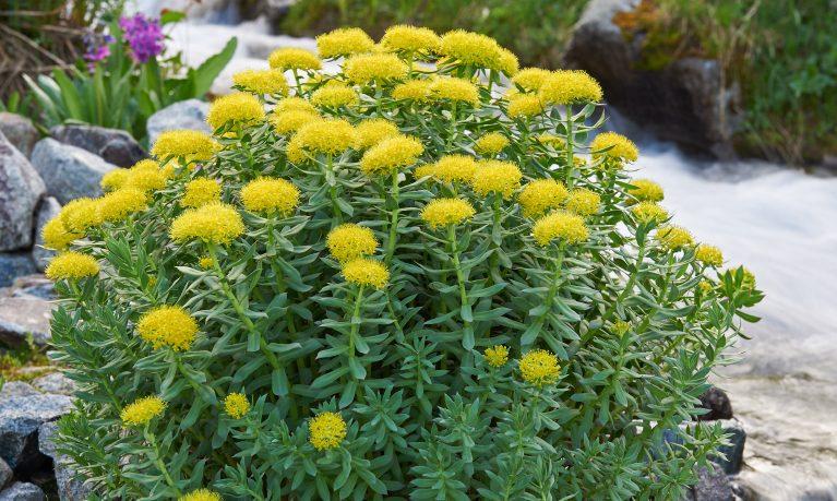 Rodiola, una pianta dalle tante virtù
