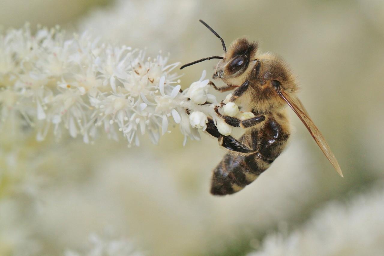 Veleno d'api: mille proprietà ed usi