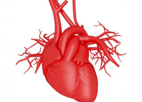 Cuore: anatomia e fisiologia