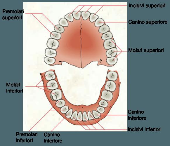 I denti e le loro funzioni