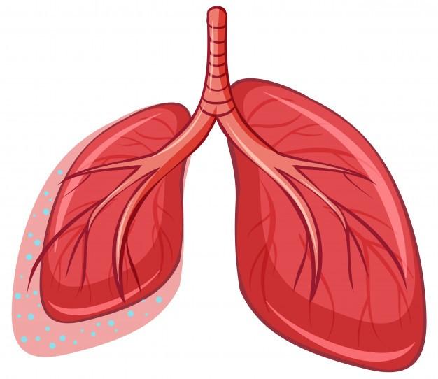 Polmoni: anatomia e fisiologia