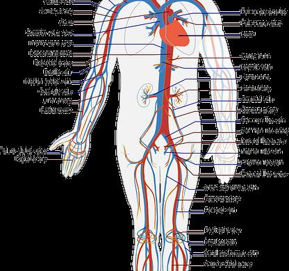 Sistema cardiocircolatorio cosa c'è da sapere su patologie e loro prevenzione