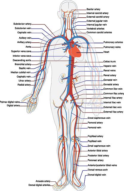Sistema cardiocircolatorio: cosa c'è da sapere su patologie e loro prevenzione